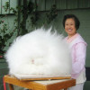 L'animaletto più soffice del mondo: il coniglio d'Angora [FOTO]