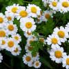 Camomilla: un'erba officinale dalle infinite proprietà terapeutiche e cosmetiche