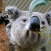 Le straordinarie proprietà benefiche dell'eucalipto, l'albero amato dai koala e dagli aborigeni