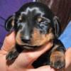 Mini Winnie: la prima cagnolina britannica clonata