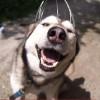 Silver: l'husky che sorride grazie al grattatesta [VIDEO]