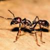 """Ricerca: veleno delle """"formiche guerriere"""" contro la psoriasi"""