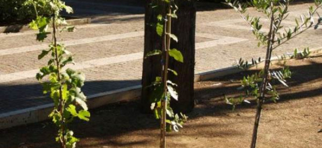 George, Alexander e Louis: piantati a Lecce una vite,un leccio e un ulivo in onore del Royal Baby (FOTO)
