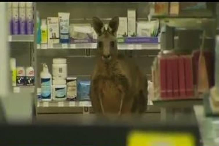 Canguro entra in una farmacia (VIDEO)