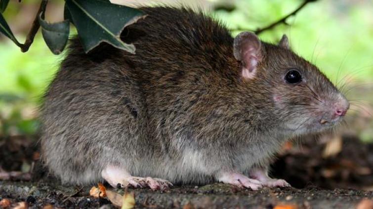 Trova topo vivo nell'olio al ristorante