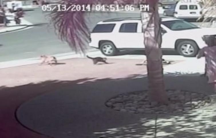 """Gatto """"supereroe"""": salva bambino dall'attacco di un cane [VIDEO]"""
