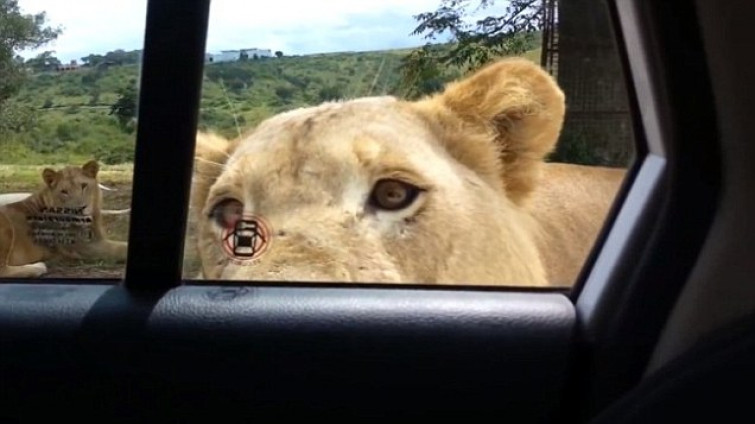 Attimi di panico durante un safari: leone apre la portiera della macchina [VIDEO]