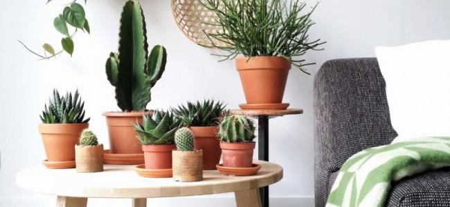 I cactus: come coltivarli in casa