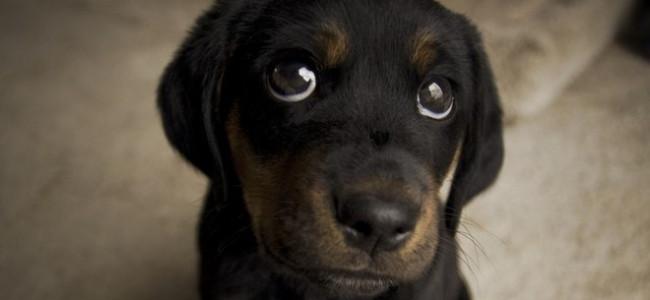 """Animali: i cani fanno gli """"occhi dolci"""" solo agli umani, lo studio"""