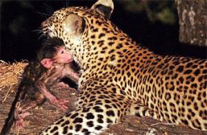 leopardmonkey2lo6